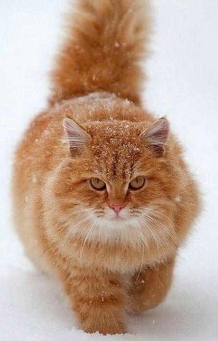 Толстый рыжий кот в снегу