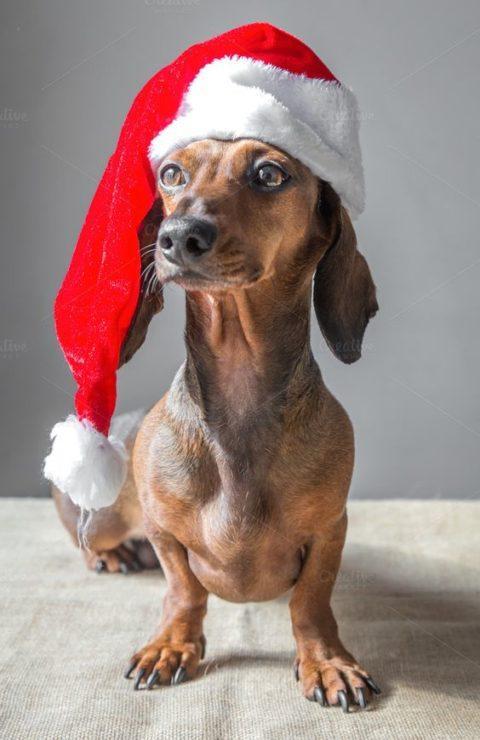 Такса в новогодней шапке