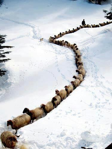 Стадо овец зимой, снег