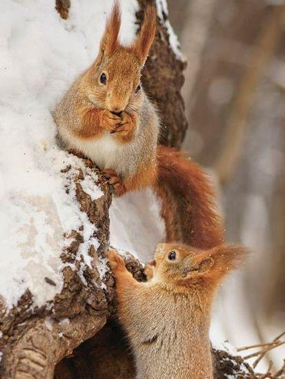 Белки в зимнем лесу