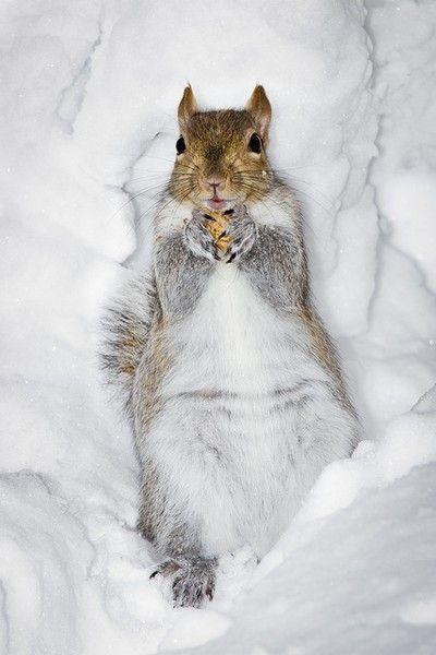 Белка лежит на снегу с орехом