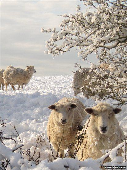 Овечки зимой в снегу