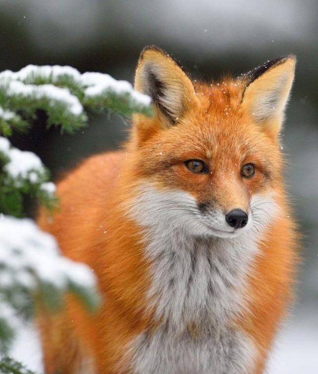 Рыжая лиса красивое фото