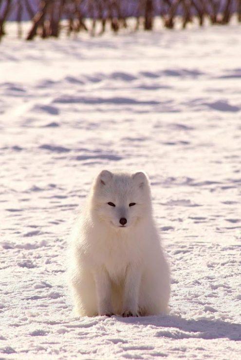 Песец, лиса, снег