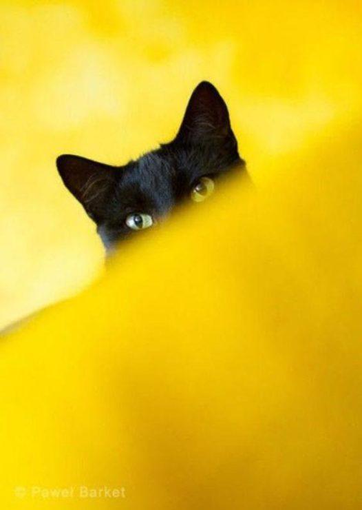 Чёрный кот на жёлтом