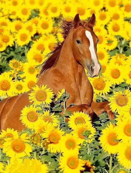 Лошадь, подсолнухи